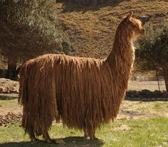 this dread-locked llama looks like something out of the Dark Crystal