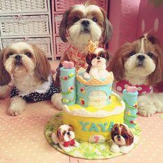 Triplet Shih Tzu Dog's Birthday Party