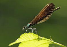 Damigella dalle ali ricamate
