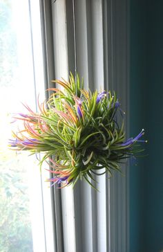 Air plant - hang in window with fishing line.  Pretty Tillandsia, easy to grow and manage.