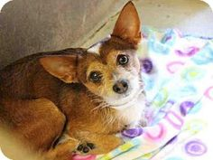 Scottsdale, AZ - Norwich Terrier Mix. Meet WHISKERS,   a dog for ADOPTION NOW!! . I'm being cared for by: Maricopa County Animal Care & Control -http://www.adoptapet.com/pet/14405906-scottsdale-arizona-norwich-terrier-mix