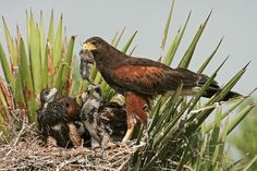 The status of children in polyamorous families: http://www.psychologytoday.com/blog/the-polyamorists-next-door/201309/the-status-children-in-polyamorous-families-0  (photo of Harris's Hawks by Seth Patterson, via Flickr; these birds raise their young in small, multi-parent, cross-mated, communal families.)