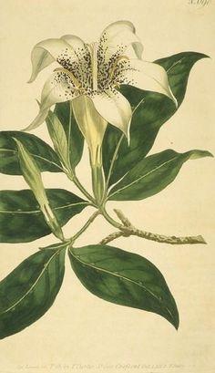 Spotted-flowered Gardenia