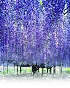 あしかがフラワーパーク/栃木の藤  Enjoy the spring in Japan!  The country you want to visit this garden spot 6 election Edit description Ashikaga flower park / Tochigi Fuji's