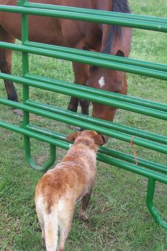 Red heeler and friend