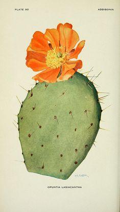 flowering cactus - opuntia lasiacantha