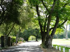 The tree lined covered road along the greens of Diablo Country Club, California embraces you.  DJ Laughlin