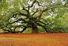 Beautiful Oak Tree. The branches are amazing.