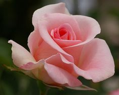 Summer Rose #3 | Flickr - Photo Sharing!