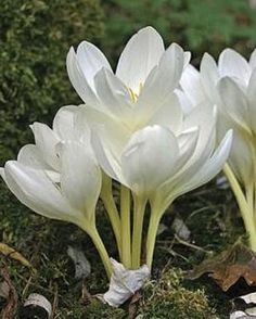 Colchicum - Autumn Flowering Crocuses - Autumn Planting - Bulbs, plants and more