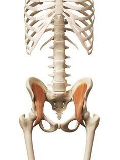腸骨筋の図: 骨盤から同じく大腿骨の内側についている「腸骨筋」