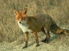 De vos is een familielid van onze huishond, hij is wel de meest katachtige van de familie, met zijn lange snorharen en zijn grote ogen.  De vos is één van de mooiste zoogdieren, met zijn glanzende rood-bruine vacht afgezet met zwart op zijn oren en poten en zijn zwartwitte snuit. Kenmerkend voor de vos is zijn dikke staart met vaak een witte punt. Reintje de vos staat bij ons bekend als een kippedief, en om zijn sluwheid.