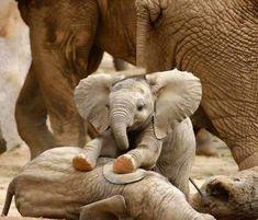 Cute elephant baby Pics with other cute animals Un bambino elefante molto carino + 9 foto con altri simpatici animali Cute Baby Elephant, Cute Baby Animals, Animals And Pets, Funny Animals, Funny Elephant, Happy Animals, Elephant Trunk, Elephant Gif, Elephant Stuff