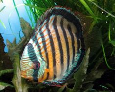 Red Spotted Green Discus, (Symphysodon spp.) Species Profile, Red ...