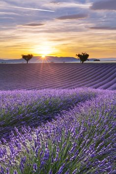 Vertical panorama of a lavender field at sunset by Aurélien Laforêt..*