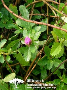 S020304Centratherum Punctatum(Brazil Button-Flower)