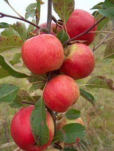 Red Falstaff apples