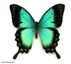 Radiant Swallowtail
