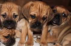 Our next dog will be a puggle, they're so freaking adorable! However, that will be a LONG time after Jada.