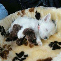 Westie puppy sleeping❤❤❤