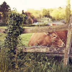 I would name this cow Cinnamon Belle