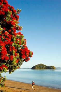 New Zealand Beaches with the stunning NZ Christmas Tree in Full Bloom - The Pohutukawa Tree.