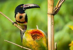 Tukaani / Costa Rica