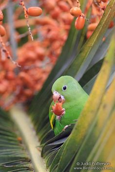 Yellow-chevroned Parakeet | by Judd Patterson