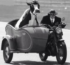 You will never be riding a motorcycle with a cow in the sidecar cool. Old Photos, Vintage Photos, Animal Pictures, Funny Pictures, Cow Pictures, Funny Images, Funny Animals, Cute Animals, Driving Miss Daisy