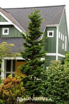 Slender Hinoki False Cypress - Monrovia -4-8 sun