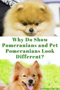 "Larger 8/"" x 10/"" Pomeranian House Rules Refrigerator Tool Box  Magnet"