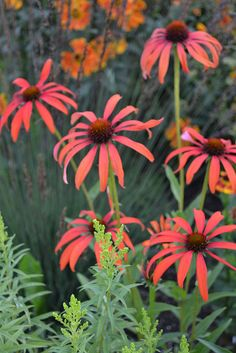 Echinacea 'Tomato Soup' by Avondale Nursery, via Flickr