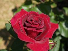 Varieties of Roses - Envision a World, all Natural.