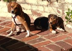Penny and Lulu- rescued from labs that test products on Beagles-thanks to Beagle Freedom Project!
