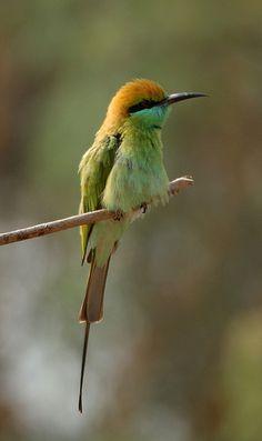 Bee eater, Thol bird sanctuary, Gujarat India.