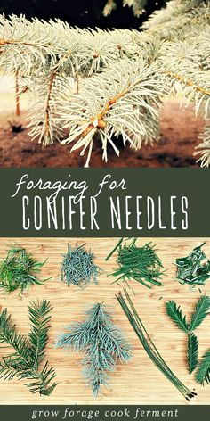 Foraging can be a challenge in the fall and winter, but luckily pine needles and other conifer needles are plentiful! Learn the main conifer needles to be on the look out for when foraging, as well as how to make a delicious recipe for medicinal pine need Healing Herbs, Medicinal Plants, Edible Wild Plants, Wild Edibles, Pine Needles, Kraut, Homesteading, Herbalism, Challenge