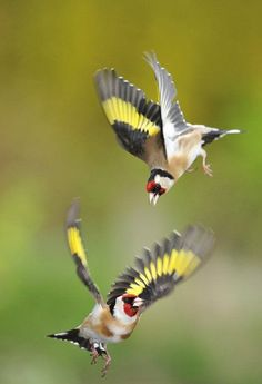 Aigas Field Centre's great photo of goldfinches Goldfinch, Great Photos, Crow, Raven, Butterflies, Centre, Wings, Bird, Animals