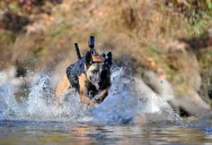 k-9 dogs in action | SEAL DevGru team War Dog in Action