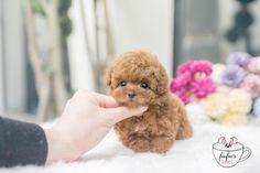 Micro Teacup Poodle, Teacup Poodles For Sale, Teacup Poodle Puppies, Teacup Puppies For Sale, Tea Cup Poodle, Aussie Puppies, Toy Puppies, Baby Animals Super Cute, Cute Little Animals