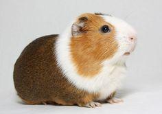 Hollanda Guinea Pig - Amerikan Guinea Pig