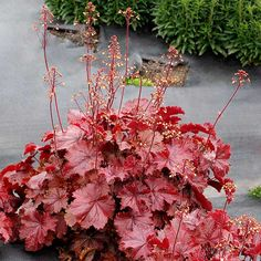 """Rely on these easy-care plants to add color and interest to shady areas. """"Corabell"""""""
