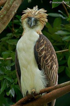 Aguila Filipina (Pithecophaga jefferyi), Animal en Peligro de Extinción