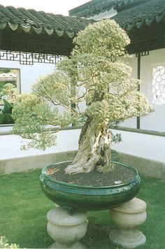 Large Bonsai displayed in green, glazed drum pot. Interestingly set on 3 rounded carved stones
