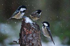 Cince in the snow.photo by Clara - Pixdaus Most Beautiful Animals, Beautiful Creatures, Beautiful World, All Birds, Watercolor Bird, Bird Watching, Bird Houses, Winter Wonderland, Cute Animals