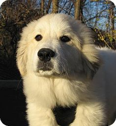 11/21/14 Hobart, IN - Great Pyrenees Mix. Meet 14594, a dog for adoption. http://www.adoptapet.com/pet/11962092-hobart-indiana-great-pyrenees-mix