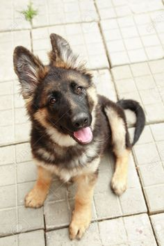 German Shepherd Puppy 4 Months Old Stock Photo, Picture And ...