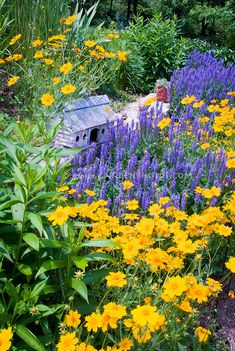 Coreopsis Sunshine Superman and Salvia Blue Hill