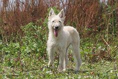 Le Bouvier des Ardennes : chien http://www.animalcompagnie.com/le-bouvier-des-ardennes.html