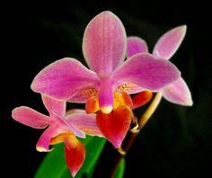 Phalaenopsis equestris 'Angel Orchids No.4'
