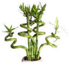 Resultado de imagen para dracena planta